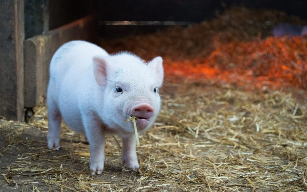 Is Pig Farming Profitable Business? 2021 Market Analysis